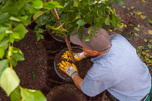 Regularly repotting our container trees ensures an excellent root system